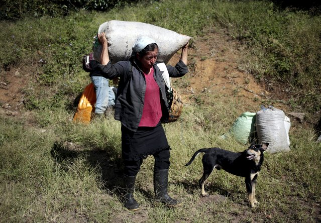 A coffee picker carries sacks of coffee cherries at a plantation in the Nogales farm in Jinotega, Nicaragua January 7, 2016. (Photo by Oswaldo Rivas/Reuters)