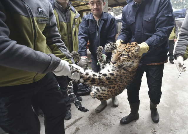 A leopard is being moved to a new enclousure after being tranqualised, during a zoo renovation in Chengdu, Sichuan province, February 2, 2016. (Photo by Reuters/China Daily)