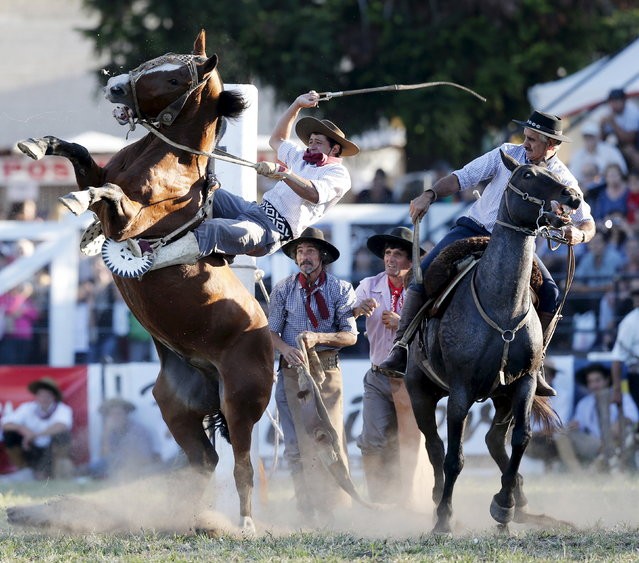 A gaucho rides a wild horse during the annual celebration of Criolla Week in Montevideo, March 30, 2015. (Photo by Andres Stapff/Reuters)