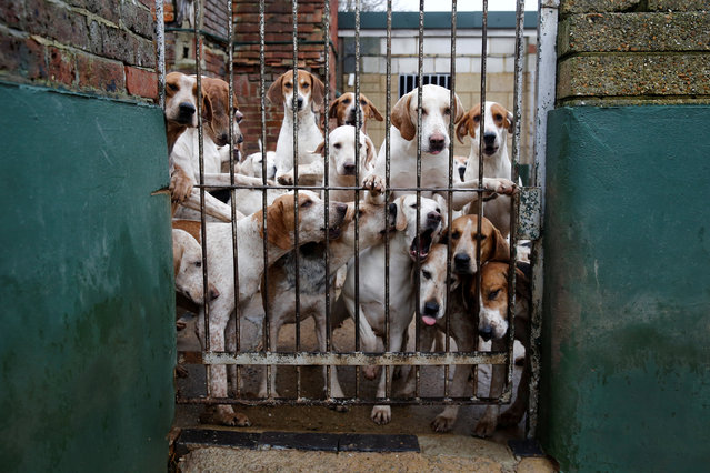 A pack of hounds from the Members of Surrey Union Hunt look out from the kennels before taking part in the annual Boxing Day hunt in Okewood Hill, Dorking, Britain December 26, 2018. (Photo by Simon Dawson/Reuters)