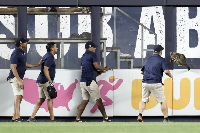 Members of the grounds crew try to catch a cat that got loose on the field during the eighth inning between the Baltimore Orioles and the New York Yankees at Yankee Stadium on August 2, 2021 in New York City. (Photo by Adam Hunger/Getty Images)