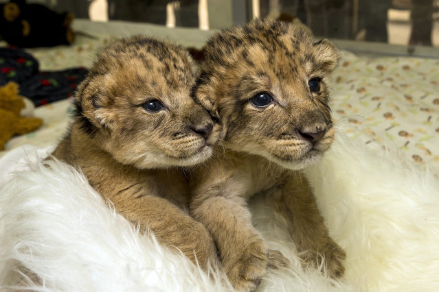 This photo provided by the San Diego Zoo Safari Park shows a pair of lion cubs born on December 6, 2013, at the San Diego Zoo Safari Park  Monday, December 16, 2013, in their play area at the animal care center. (Photo by Ken Bohn/AP Photo/San Diego Zoo)