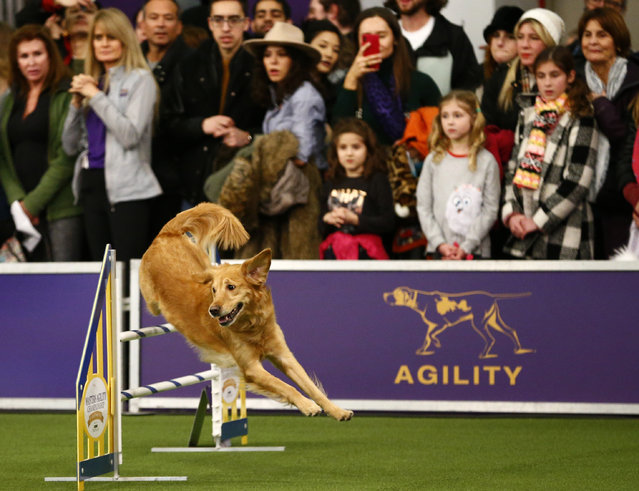 """Golden retriever """"Twist"""" competes in the masters agility championship during the Westminster Kennel Club Dog Show, Saturday, February 9, 2019, in New York. (Photo by Noah K. Murray/AP Photo)"""