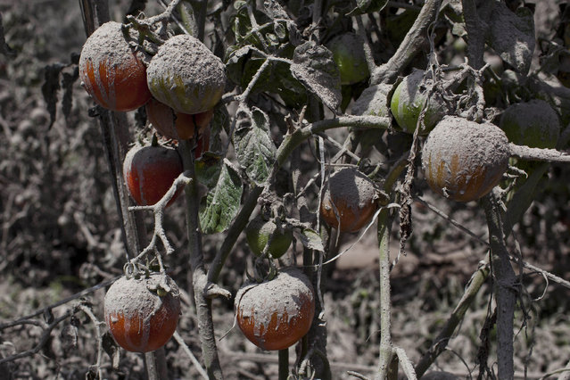 A view of tomatos covered by ash following a further eruption of the Mount Sinabung on January 6, 2014 in Karo District, North Sumatra, Indonesia. (Photo by Ulet Ifansasti/Getty Images)