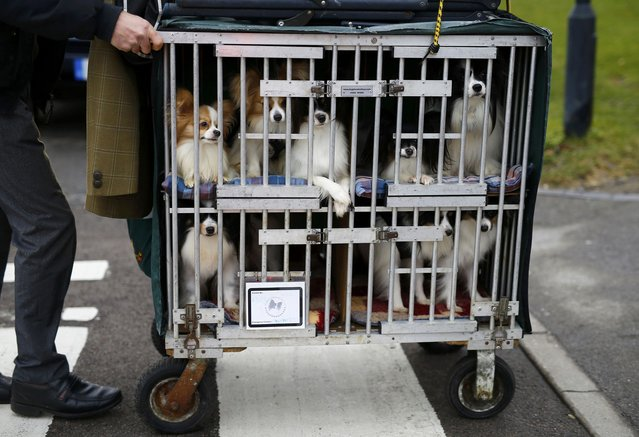 A man arrives with a cage of Papillons on the first day of the Crufts Dog Show in Birmingham, Britain March 10, 2016. (Photo by Darren Staples/Reuters)