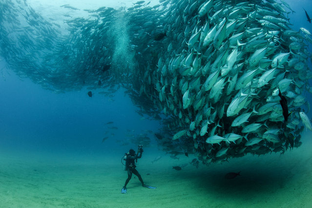 The school of fish gather in front of diver David Castro with his camera