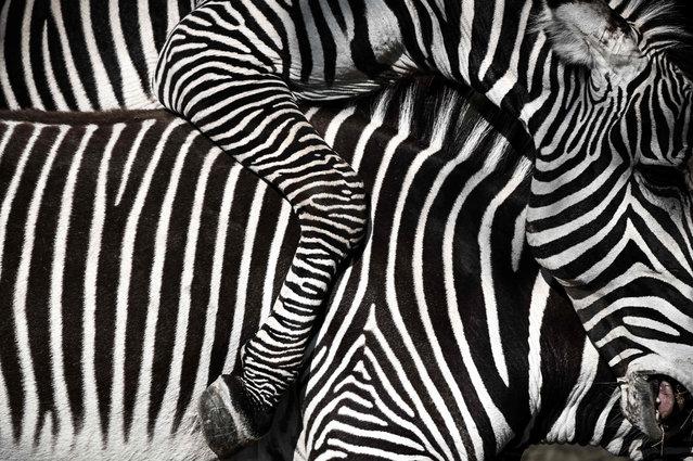 A picture shows a close-up of zebras in an enclosure at the Paris zoological park (Parc zoologique de Paris) in Paris on April 12, 2019. (Photo by Philippe Lopez/AFP Photo)
