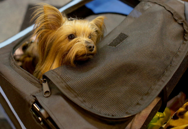 A Yorkshire Terriers is pushed around the trade stands on the first day of Crufts dog show at the NEC on March 6, 2014 in Birmingham, England. (Photo by Matt Cardy/Getty Images)