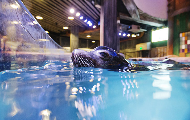 In this Monday, March 28, 2016 photo, Nav, an 11-year-old rescued California sea lion, swims in the water during a training session for a new exhibit at the Georgia Aquarium. (Photo by David Goldman/AP Photo)