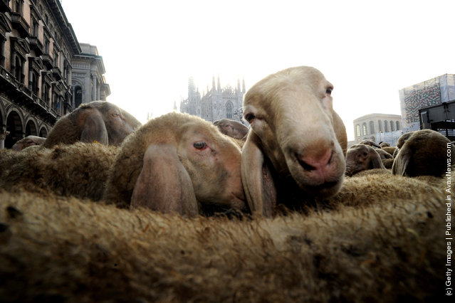 Sheep In The Streets Of Milan During Filming For The Last Shepherd