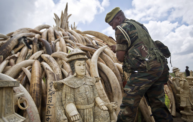 A ranger from the Kenya Wildlife Service (KWS) adjusts the positioning of tusks on one of around a dozen pyres of ivory, in Nairobi National Park, Kenya Thursday, April 28, 2016. (Photo by Ben Curtis/AP Photo)