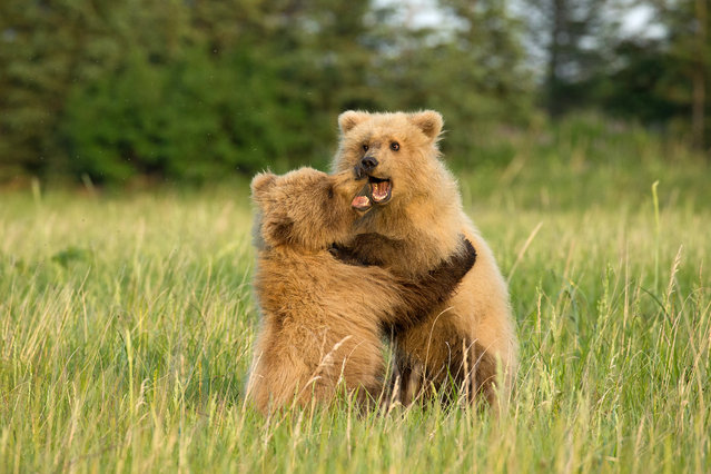 The cubs battle it out on June, 19, 2015, in Lake Clark, Alaska. Playful bear cubs lock paws and show their teeth during a harmless scrap in the grass. The young animals were spotted wrestling for roughly five minutes in Lake Clark, Alaska, by amateur photographer Greg Morgan. The US state has the highest amount of brown bears in the US, and is home to roughly 98% of the country's entire population of the species. (Photo by Greg Morgan/Barcroft Media)