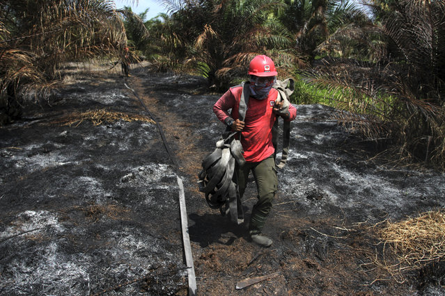 A fire fighter carries hoses as he walks on a burnt filed at a palm oil plantation in Tapung, Riau province, Indonesia, Thursday, August 1, 2019. A spate of forest fires burning throughout Indonesia has prompted six provinces to declare a state of emergency as thousands of security forces have deployed to extinguish fires. (Photo by Rafka Majjid/AP Photo)