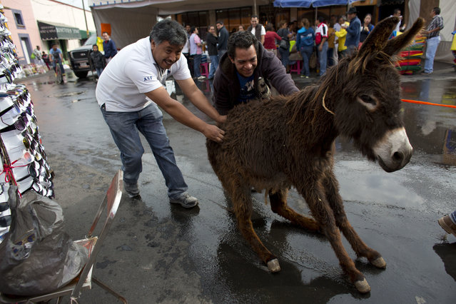 In this May 1, 2016 photo, a reluctant donkey is alternately pushed and pulled and enticed with carrots toward town hall in order to be dressed for the costume competition at the annual donkey festival in Otumba, Mexico state, Mexico. Otumba was an important donkey market during Spanish colonial times, standing at the crossroads of major roads leading to Mexico City, where the beasts pulled heavy loads and carried travelers. Today, however, farmers use tractors and pickup trucks, and the donkey population is in decline. (Photo by Rebecca Blackwell/AP Photo)