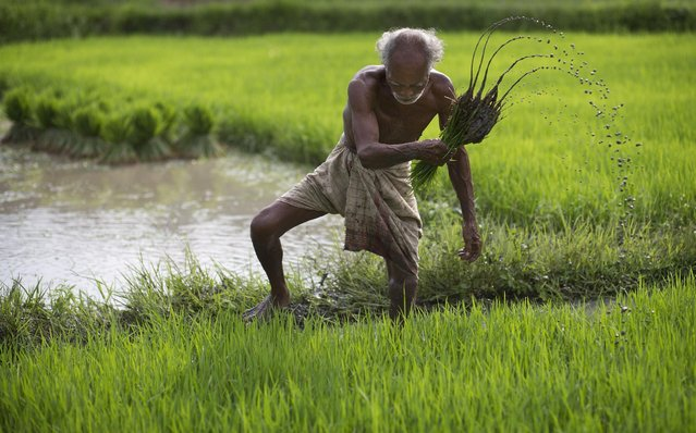 A farmer works in a paddy field at Reba Maheswar village, 56 kilometers (35 miles) east of Gauhati, India, Friday, July 3, 2015. (Photo by Anupam Nath/AP Photo)