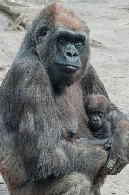 "In this photo taken on April 11, 2014, and provided by the Wildlife Conservation Society , on April 24, 2014, ""Tutti"", a female Western Lowland gorilla holds her baby at the Bronx Zoo Congo Gorilla Forest in New York. With the addition of two new baby gorillas recently born at the zoo, the Bronx Zoo's Congo Gorilla Forest is now home to 20 gorillas. (Photo by Julie Larsen Maher/AP Photo/WCS)"