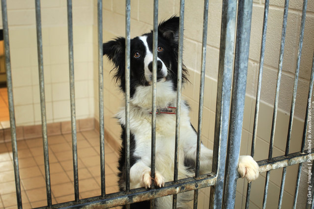 Max a two year old Border Collie waits to be re-homed at the Cheshire Dogs Home