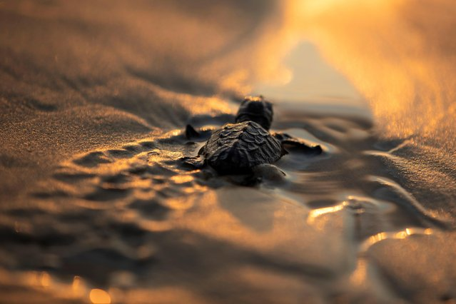 A newly-hatched baby sea turtle makes its way into the Mediterranean Sea for the first time, as part of the Israeli Sea Turtle Rescue Center's conservation program, at a beach near Mikhmoret north of Tel Aviv, Israel September 9, 2019. Green turtles are endangered worldwide, the World Wildlife Fund says. Among other hazards, they are threatened by hunting, human encroachment on the beaches where they nest, and pollution of their feeding grounds offshore. According to the Israeli rescue center, only about 20 female green turtles nest along the Israeli Mediterranean coast during a breeding season that usually lasts from May until August. (Photo by Amir Cohen/Reuters)