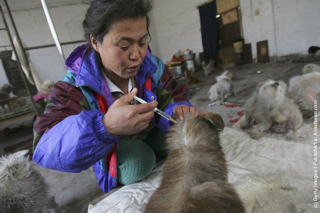 The animal shelter, established by animal lover Dai Shuqing, is located at an abandoned warehouse which houses some 100 dogs