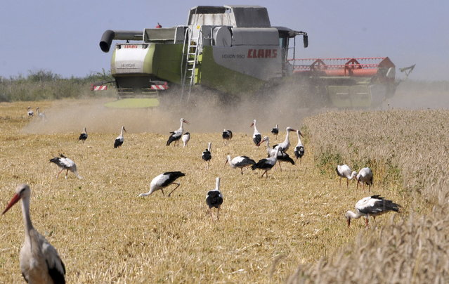 """A harvester seen at work in the Burgas region, Bulgaria, as the end of harvest of wheat nears, July 16, 2015. Bulgarian grain producers expect average yields between 450 and 500 kg per hectare. The most frequent """"guests"""" during the harvesting campaign are flocks of storks, looking for food. (Photo by Todor Stavrev/EPA)"""