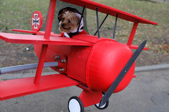Lincoln the Yorkshire Terrier, dressed as the Red Baron, sits in his costume at the Tompkins Square Halloween Dog Parade in Manhattan, New York City, U.S., October 20, 2019. (Photo by Andrew Kelly/Reuters)