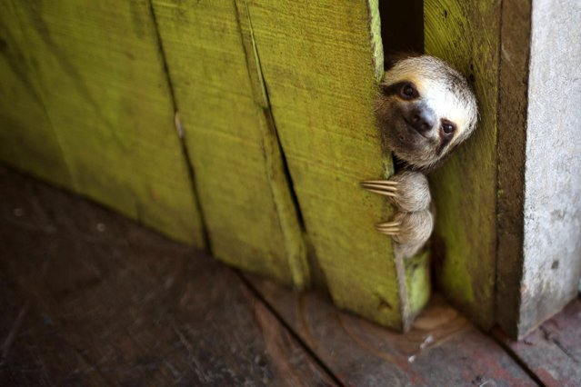 "A sloth peeks out from behind a door on a floating house in the ""Lago do Janauari"" near Manaus, Brazil, Tuesday, May 20, 2014. Manaus is one of the host cities for the 2014 World Cup in Brazil. (Photo by Felipe Dana/AP Photo)"