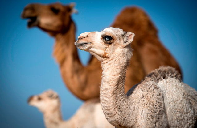 A camel calf is seen among a herd in the desert near Dakhla in Morocco-administered Western Sahara, on October 13, 2019. In the Oued Eddahab desert in Western Sahara, Habiboullah Dlimi raises dairy and racing camels just like his ancestors used to, but with a little help from modern technology. While his animals roam free and are milked traditionally, by hand, at dawn and dusk, they are watched over by hired herders and Dlimi follows GPS coordinates across the desert in a 4X4 vehicle to reach them. (Photo by Fadel Senna/AFP Photo)