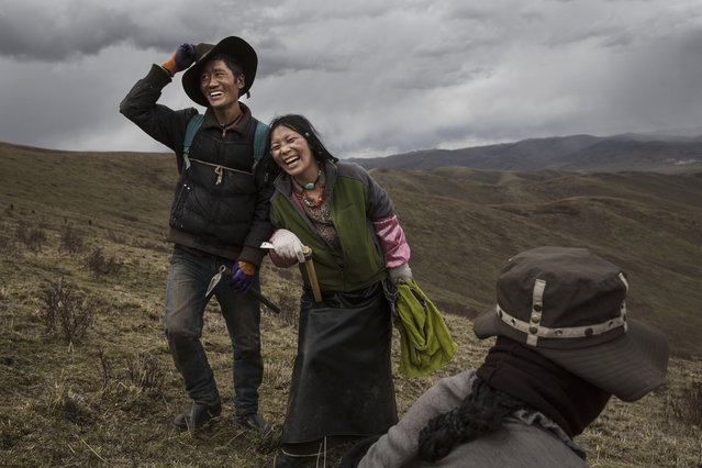 A Tibetan nomad couple laugh together while harvesting cordycep fungus on May 20, 2016 near Sershul on the Tibetan Plateau in the Garze Tibetan Autonomous Prefecture of Sichuan province. (Photo by Kevin Frayer/Getty Images)