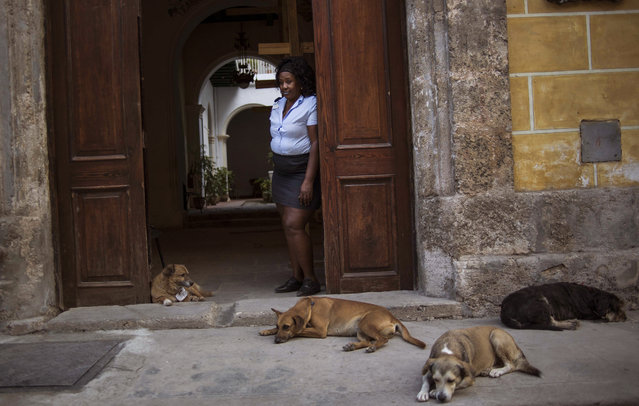 """In this March 13, 2015 photo, Old Havana Museum of Metalwork guard Yarisbel Perez stands in the doorway for a portrait with the museum's former stray dogs, from left, Leon, Canela, Aparicio and Vladimir in Havana, Cuba. At night, the animals patrol the streets with local police or sleep under the museum's grand stairway. """"I don't like dogs but I've really developed a soft spot in my heart for them"""", said Perez. (Photo by Ramon Espinosa/AP Photo)"""