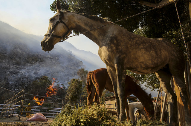 Horses are seen before they are evacuated from a ranch as a wildfire is burning along a hillside in Azusa, Calif., Monday, June 20, 2016. (Photo by Ringo H.W. Chiu/AP Photo)