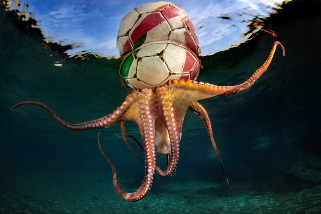 Behaviour category winner: Octopus Training by Pasquale Vassallo (Italy) in Tyrrhenian Sea, Bacoli, Naples, Italy. An octopus holding a football and being pulled along by the current. (Photo by Pasquale Vassallo/Underwater Photographer of the Year 2020)