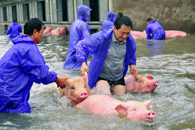 Employees save pigs from a flooded farm in Lu'an, Anhui Province, China July 5, 2016. (Photo by Reuters/Stringer)