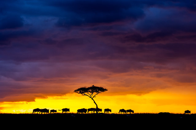 A herd of wildebeest cross the skyline against the fading light in Masai Mara, Kenya, 25 August 2017. Stunning sunset photos silhouette Africa's wildlife against streaks of orange and red sky. In August, German photographer Ingo Gerlach was on safari in the Masai Mara when he convinced his safari guide to stop and take in the sunset. The wildlife photographer was rewarded with his patience by an eye-catching sunset, which cast Africa's wildlife into dark shadows against the vibrant skies. (Photo by Ingo Gerlach/Barcroft Images)