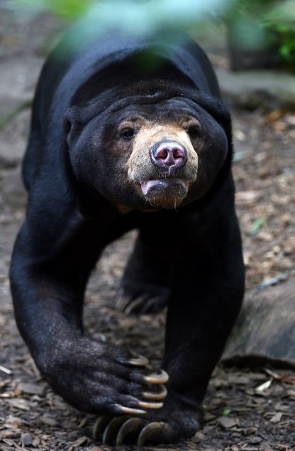 A Malayan sun bear walks around in its enclosure at the zoo in Muenster, western Germany, on August 18, 2014. (Photo by Patrik Stollarz/AFP Photo)