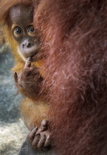 Bino, one-year-old Sumatran Orang Utan, peeps from behind his mother Tuesday, April 10, 2012 at the Singapore Zoo in Singapore. (Photo by Wong Maye-E/AP Photo)
