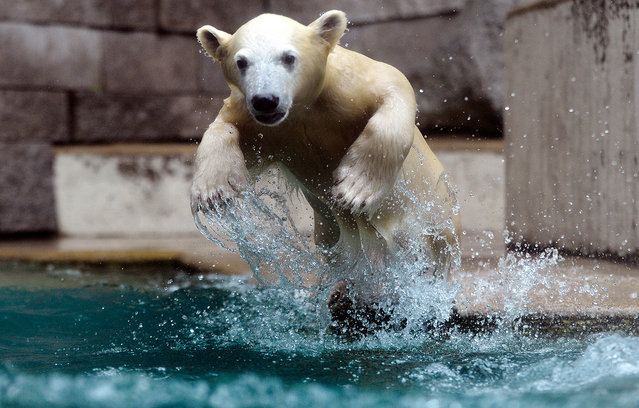 Anori, a five-month-old polar bear, plays in a pool of water at the zoo in Wuppertal, Germany, on June 6, 2012. (Photo by Sascha Schuermann/AP Photo)