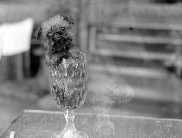 A tiny griffon Bruxellois dog manages to fit comfortably into a small vase, 1926. In spite of its size they are traditionally bred to catch rats. (Photo by Fox Photos)