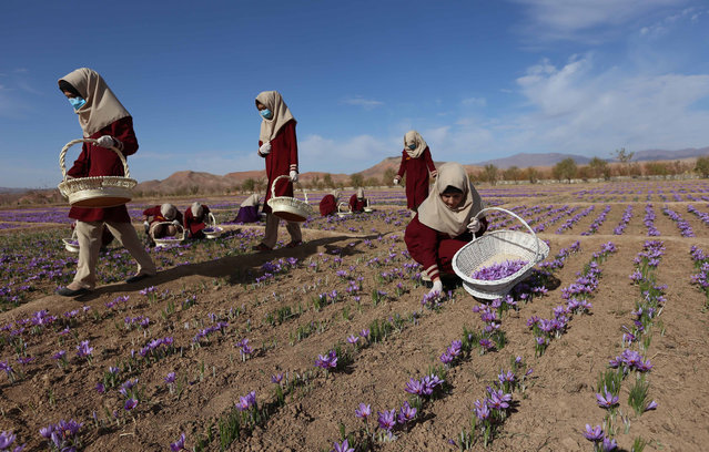 Afghan women collect saffron flowers in the Karukh district of Herat, Afghanistan, 06 November 2016. The Saffron industry in the province of Herat, based on the figures, has hired more than 5,000 people with 40 per cent of them women covering about 1000 acres of land. The plant is seen as an alternative to the poppy cultivation and international buyer around the world have been attracted for its good quality including Europe, the USA, China and India. (Photo by Jalil Rezayee/EPA)