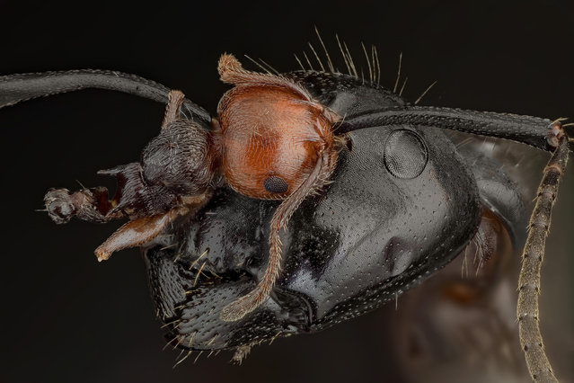 """The last challenge. I found this Camponotus vagus with the remains of a Crematogaster scutellaris still hanging as a trophy to its antenna"". (Andrea Hallgass)"