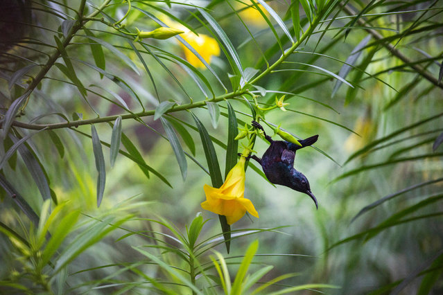 A sunbird sucks nectar from flowers during monsoon season in Dhaka, Bangladesh, 17 July 2020 (issued 18 July 2020). The purple sunbird is mainly found in South and Southeast Asia. (Photo by Monirul Alam/EPA/EFE)
