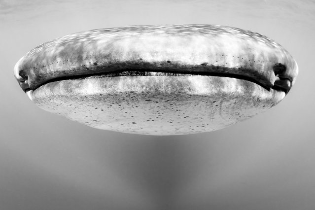 """""""Face to face with a whale shark. They explore the underwater world and its infinite possibilities for generating strong emotions in the human beings"""". (Photo and comment by Christian Vizl, Mexico/2013 Sony World Photography Awards"""