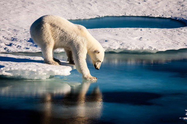 A handout photo provided by the European Geosciences Union on September 13, 2016 shows an undated photo of a polar bear testing the strength of thin sea ice in the Arctic. Polar bears are among the animals most affected by changes in Arctic sea ice because they rely on this surface for essential activities such as hunting, traveling and breeding. A new study by University of Washington researchers, funded by NASA, finds a trend toward earlier sea ice melt in the spring and later ice growth in the autumn across all 19 polar bear populations, which can negatively impact the feeding and breeding capabilities of the bears. (Photo by Mario Hoppmann/AFP Photo/European Geosciences Union)