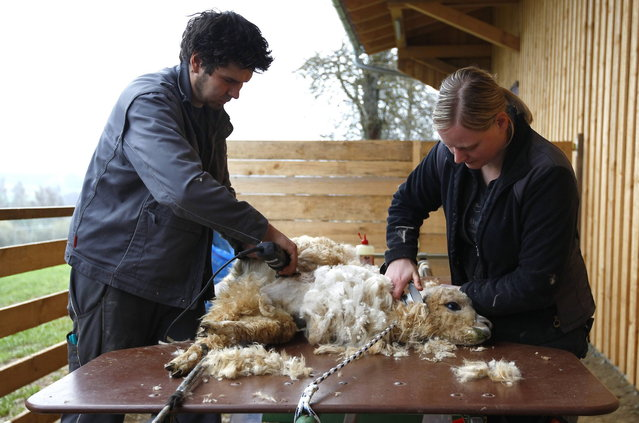Farmers Ludwig and Sonja Turban shear an alpaca in the village of Winklarn near Regensburg April 22, 2013. The alpacas are always shorn in spring, to make the animals more comfortable for the summer months and to collect the expensive and well known alpaca wool. (Photo by Michaela Rehle/Reuters)