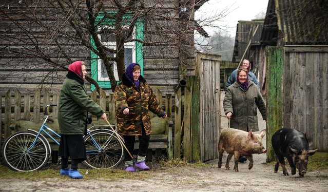 Women pig farmers take pigs out, in the village of Tonezh, on January 7, 2018. (Photo by Sergei Gapon/AFP Photo)