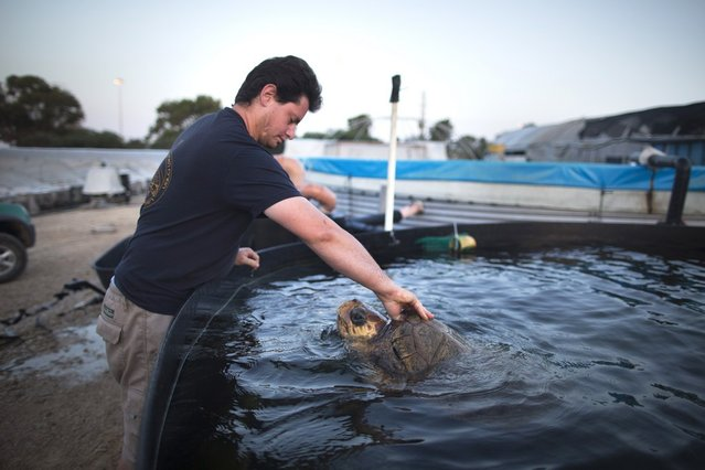 A Loggerhead sea turtle named Gal Handless is taken out of the water at the rescue center for sea turtles as it is transferred to the Istanbul Aquarium on May 29, 2013 in Michmoret, Israel. The turtle was rescued after losing her front fins when caught in a fishing net in 2004. She was rehabilitated at the rescue center but could not be returned back to the sea and now after 9 years she is being transferred to her new home at the Istanbul Aquarium in Turkey.   (Photo by Uriel Sinai)