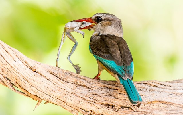 "A brown-hooded kingfisher sits on a branch with a freshly caught frog in it's beak. Riaan Marais who took the photo said, ""We were doing a boat safari on the Rufiji river in Selous Game Reserve, Tanzania when I spotted the bird with the frog on an overhanging branch on the river bank. It most probably caught the frog in the reeds along the river's edge as this is where these frogs stay. The kingfisher must have caught the Common Reed Frog just before I took the image, as the frog was still alive, I had a brief moment to take the image before the bird flew off with the frog"". (Photo by Riaan Marais/Solent News and Photo Agency)"