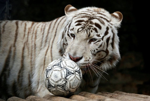 """Khan, a seven-year-old male White Bengal tiger, plays with a ball during the """"Football Day"""" event, organized by zoo employees to mark the upcoming 2018 FIFA World Cup, at the Royev Ruchey zoo in the Siberian city of Krasnoyarsk, Russia June 5, 2018. (Photo by Ilya Naymushin/Reuters)"""