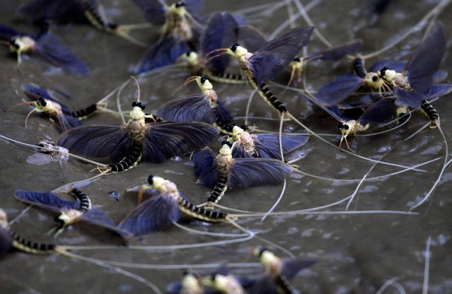 Long-tailed mayflies fly over the surface of the Tisza river southeast of Budapest, June 20, 2012. (Photo by Laszlo Balogh/Reuters)