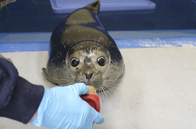 This January 20, 2015 photo shows Bryce, a blind harbor seal pup, being treated at the Alaska SeaLife Center in Seward, Alaska. (Photo by Jenna Miller/AP Photo/Alaska SeaLife Center)