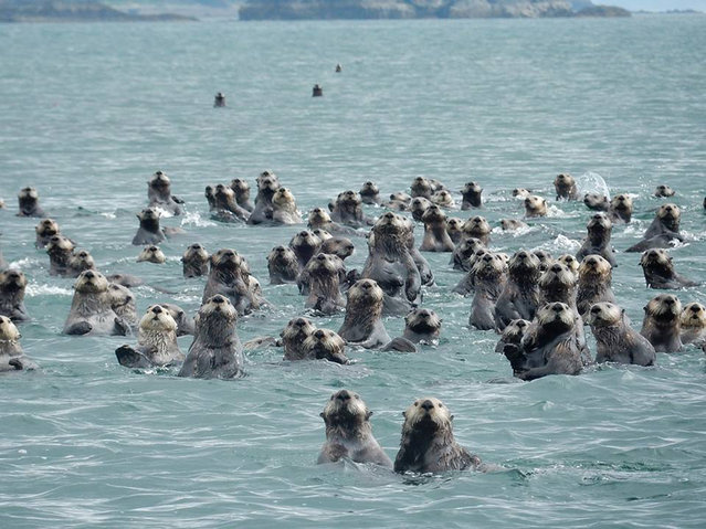Sea otters, Glacier Bay National Park. (Photo by Caters News)